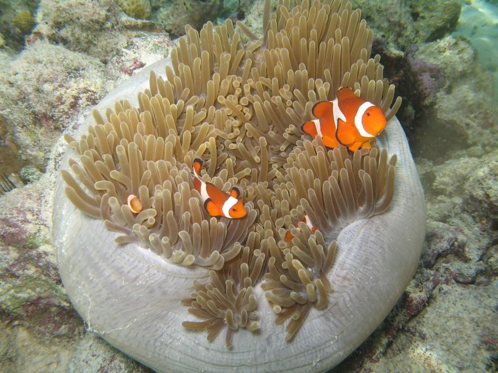 clown-fish-1415706_1280