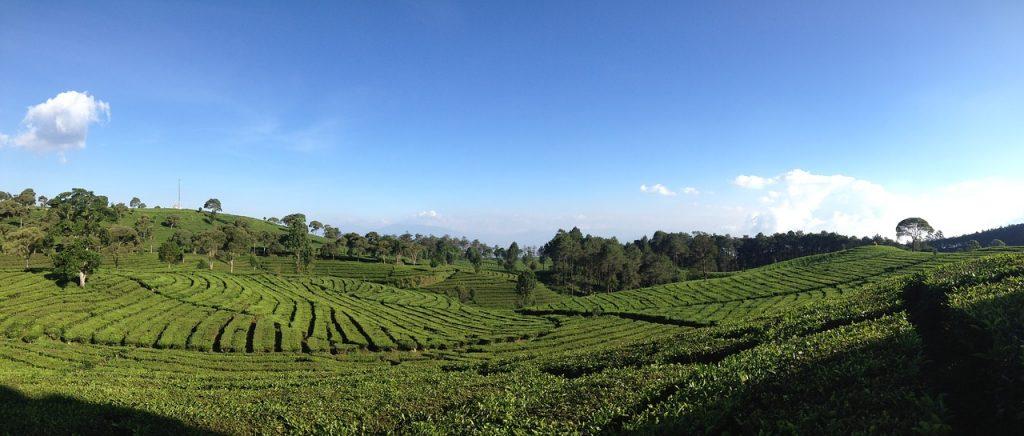 Tea Plantations in Bandung