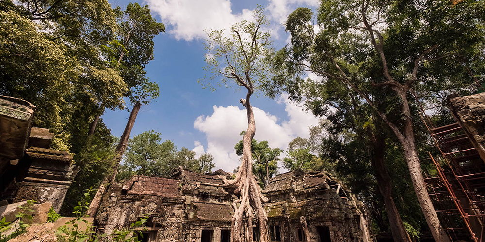 Ta Prohm tree in Angkor Wat