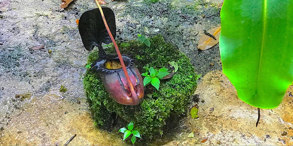 Kinabalu-Park-plant